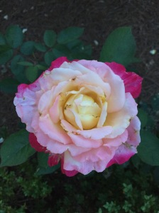 Rose at the Franciscan Monastery of the Holy Land in Washington, D.C.